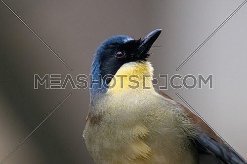 This small songbird, blue-crowned laughingthrush indigenous to Jiangxi, China, is now critically endangered in the wild