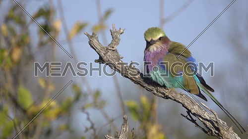 Profile view of a Lilac-Breasted Roller perched on a branch