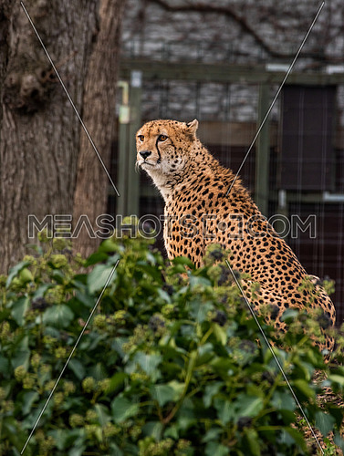 Close up portrait of cheetah (Acinonyx jubatus)  over green background