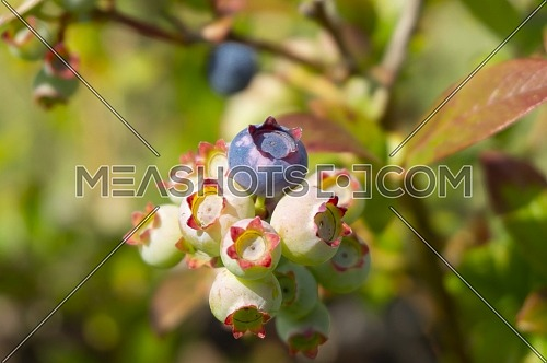 Single ripe blueberry in a cluster or ripening berries on a bush outdoors in summer sunshine in close up with copyspace