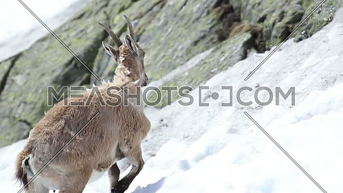 Ibex, Capra Ibex, walking down a steep snowy slope against mountain cliffs covered in lichens