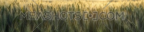 Panorama banner or header of backlit wheat in an agricultural field at sunset with a golden glow over the crop