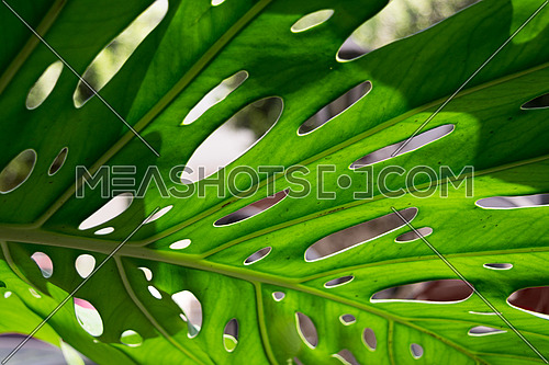 Big green leaf of Monstera tropical plant