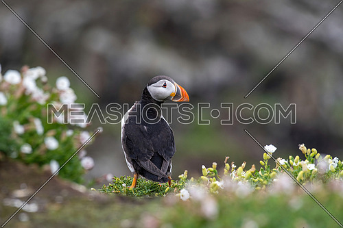 Atlantic Puffin (Fratercula arctica) on cliff's edge at Isle of May, Scotland.