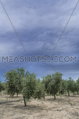 Olive tree in flowering during spring, clouds of purple color threaten thunderstorm, Andalusia, Spain