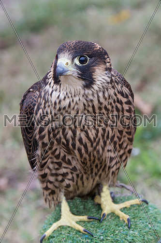 The peregrine falcon . Falco peregrinus, also known as the peregrine, and historically as the duck hawk in North America, is a widespread bird of prey in the family Falconidae.Selective focus
