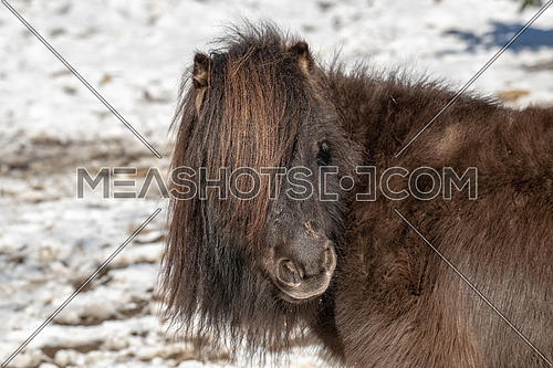 Close-up portrait of pony. Wildlife photo