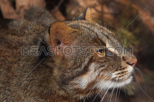 Close up side profile portrait of fishing cat (Prionailurus viverrinus) looking away aside of camera, low angle view