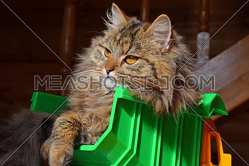 Close up side profile portrait of one brown colored domestic cat sitting in toy truck and looking at camera, low angle view