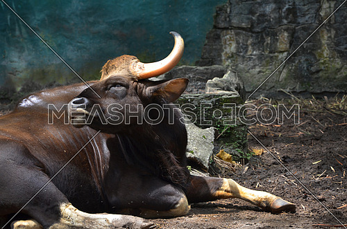 A buffalo laying resting on the ground