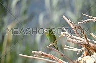 Blue Cheecked Bee Eater Singing