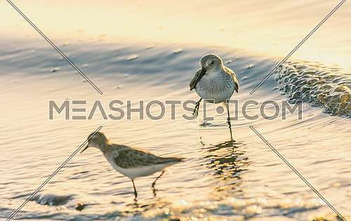 two Little Stints on the water