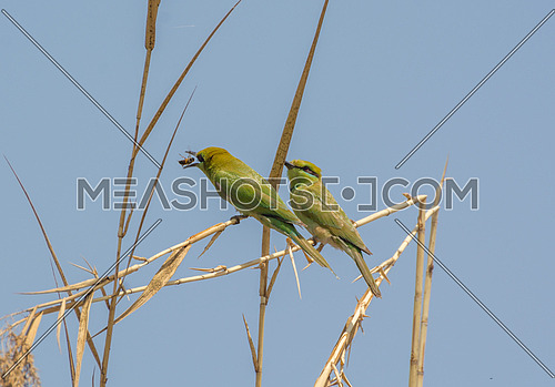 Little Green Bee Eater