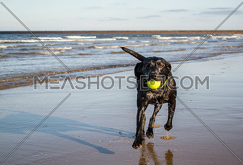 Black Labrador playing fetch the tennis ball on the beach