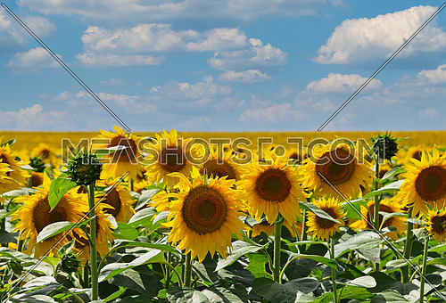 Field of yellow sunflowers growing under blue cloudy sky, high angle view