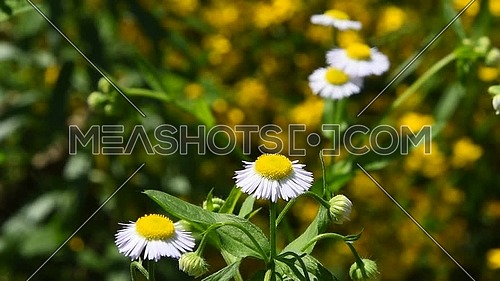 Wild meadow chamomile flowers over green background of field, close up