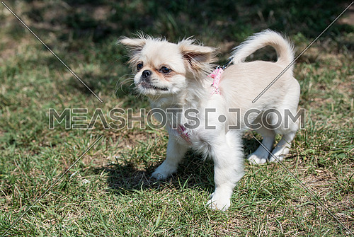 Pekingese is walking on the field with green grass in the summer park.