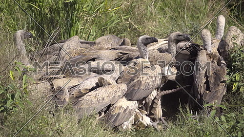 View of a gruesome frenzy of vultures tearing flesh off a dead impala