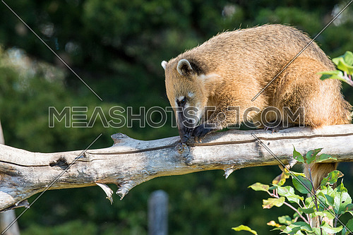 South American coati (Nasua nasua), also known as the ring-tailed coati