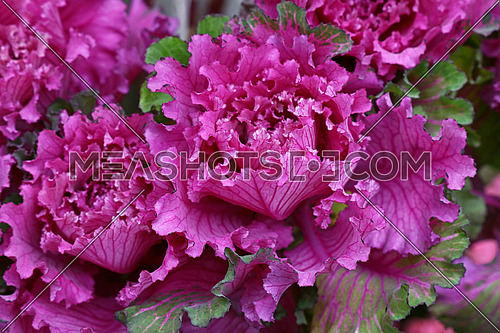 Close up purple rosette of ornamental kale, decorative cabbage variety, high angle view