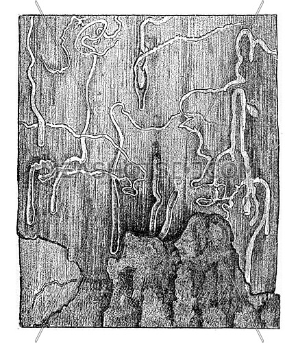 Furrowed surface of the sapwood by larval galleries of Pissodes piniphilus, vintage engraved illustration.