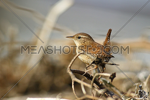 Eurasian Wren, Troglodytes troglodytes on dead branches against a blurred brown background