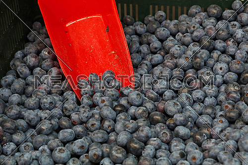 Fresh ripe blueberry berries with red scoop in a box at retail farmers market stall, close up, high angle view
