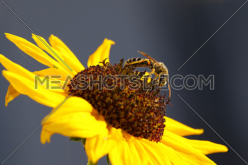 Wasp on a sunflower