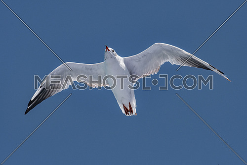 Black-headed gull - Chroicocephalus ridibundus in natural environment