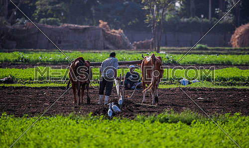 An Egyptian farmer during the agriculture on the island of Dahab (Gazert El Dahab) in Cairo at day