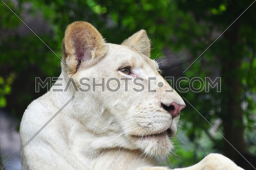 Young white African lioness close up profile portrait in zoo environment, low angle