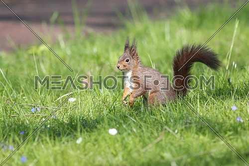 European red squirrel in grass with daisies by a path