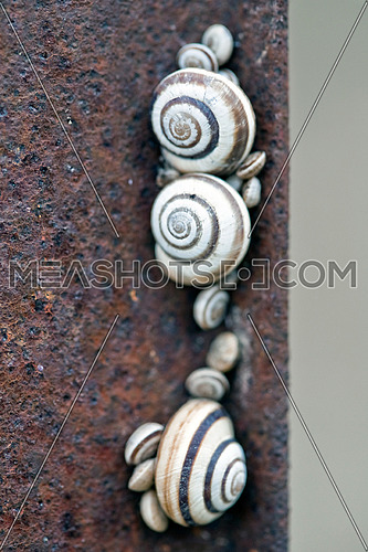 Colony of snails on a rusty iron