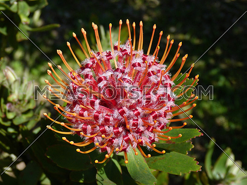 Beautiful Protea Flower Blooming in Vivid Colour