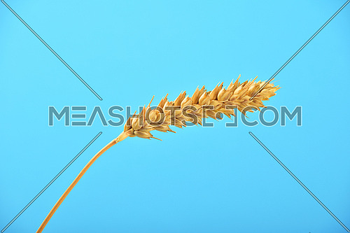 One wheat ripe ear spike bending under clear blue sky without clouds