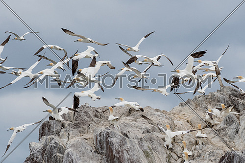 Northern gannet (Morus bassanus) in flight against ocean background.Wild life animals