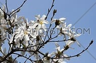 White magnolia tree flowers and new buds on branch tremble in the wind over clear blue sky, Full HD 1080
