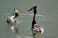 Great crested grebes during mating season marriage dance