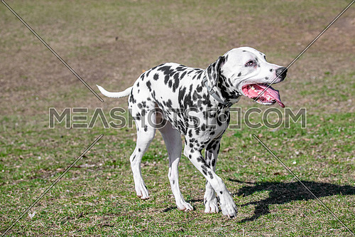 Adorable  Dalmatian dog outdoors in spring. Selective focus