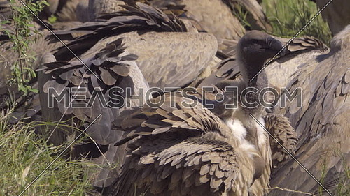 Close shot view of a white backed vulture near a wake