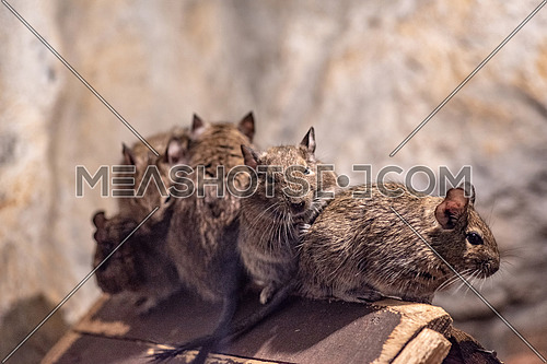 Degu also known as a bushy tail rat. It is a native of Chile. Untamed degus as with most small animals can be prone to biting but their intelligence makes them easy to tame.