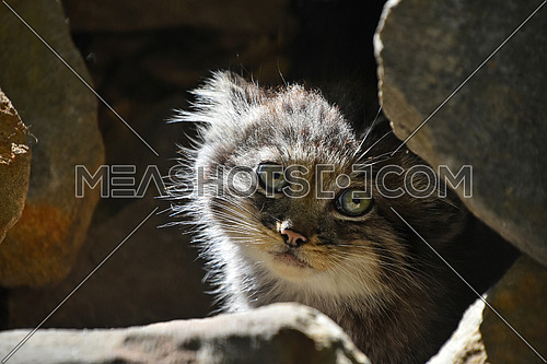 Close up portrait of one cute Manul kitten (The Pallas's cat or Otocolobus manul) hiding in rocks and looking at camera alerted, low angle view