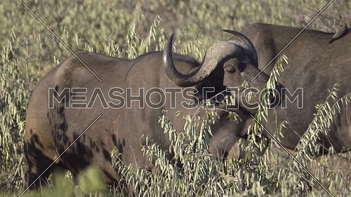 View of a Cape Buffalo standing in the bush