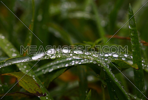 Close up raindrops, water droplets or dew drops on green grass blade