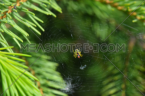 Spider and his prey insect in center of cobweb over green background among pine spruce fir needles, damaged web