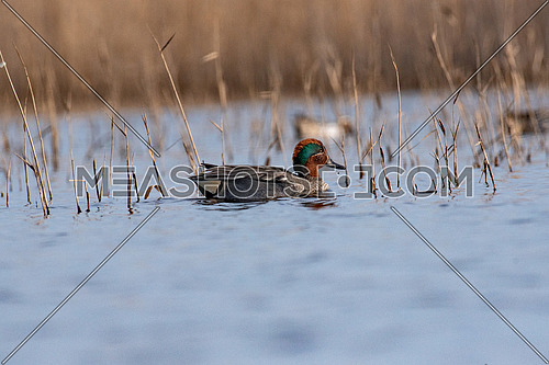 Male eurasian or common teal, anas crecca, floating on the water