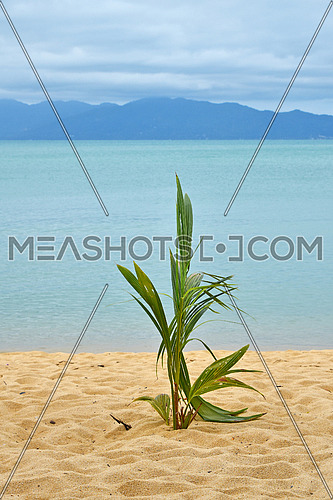 New green fresh coconut palm tree sprout shoot growing on sand beach shore over blue sea background
