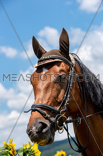 Portrait of a nice horse with sunflowers in the background