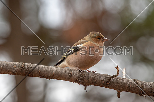 The Common Chaffinch (Fringilla coelebs)  breeds in much of Europe across Asia to Siberia