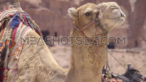 Medium profile of camel with colorful saddle